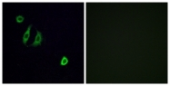 G600-1 - Olfactory receptor 4F6