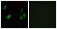 G603-1 - Olfactory receptor 4K3