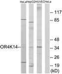 G605-1 - Olfactory receptor 4K14
