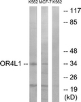 G608-1 - Olfactory receptor 4L1