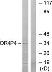 G612-1 - Olfactory receptor 4P4