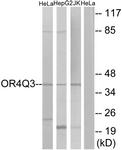 G613-1 - Olfactory receptor 4Q3