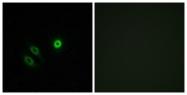 G616-1 - Olfactory receptor 4X1