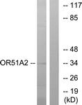 G618-1 - Olfactory receptor 51A2