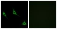 G619-1 - Olfactory receptor 51A7
