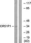 G621-1 - Olfactory receptor 51D1