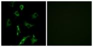 G627-1 - Olfactory receptor 5B3