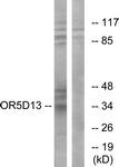 G633-1 - Olfactory receptor 5D13