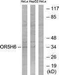 G640-1 - Olfactory receptor 5H6