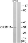 G647-1 - Olfactory receptor 5M11