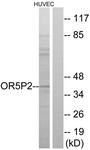 G651-1 - Olfactory receptor 5P2