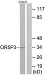 G652-1 - Olfactory receptor 5P3