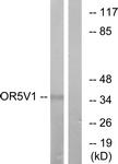 G656-1 - Olfactory receptor 5V1