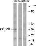 G662-1 - Olfactory receptor 6C3
