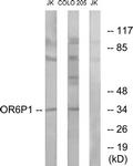 G668-1 - Olfactory receptor 6P1