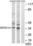 G679-1 - Olfactory receptor 4K14