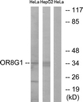 G686-1 - Olfactory receptor 8G1