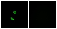 G688-1 - Olfactory receptor 8H2