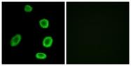 G693-1 - Olfactory receptor 8K1