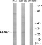 G697-1 - Olfactory receptor 9G1