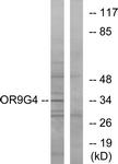 G698-1 - Olfactory receptor 9G4