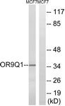 G701-1 - Olfactory receptor 9Q1