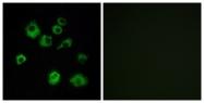 G703-1 - Orexin receptor type 1