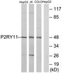 G714-1 - P2RY11 / P2Y11