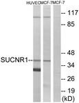 G748-1 - Succinate receptor 1 / GPR91