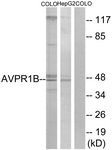 G787-1 - Vasopressin V1b receptor (V1bR)