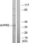 G788-1 - Vasopressin V2 receptor (AVPR2)