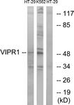 G789-1 - PACAP type II Receptor / VIP Receptor