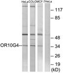 G824-1 - Olfactory receptor 10G4