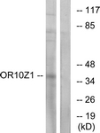 G833-1 - Olfactory receptor 10Z1