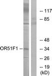 G845-1 - Olfactory receptor 51F1