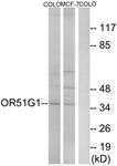 G847-1 - Olfactory receptor 51G1