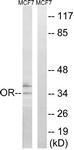 G848-1 - Putative olfactory receptor 51H1
