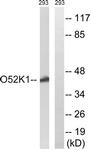 G858-1 - Olfactory receptor 52K1
