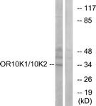 G880-1 - Olfactory receptor 10K1/10K2