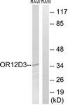 G881-1 - Olfactory receptor 12D3
