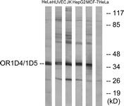 G885-1 - Olfactory receptor 1D4/1D5