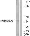 G900-1 - Olfactory receptor 3A2/3A3