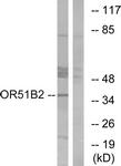G908-1 - Olfactory receptor 51B2