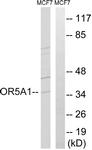 G909-1 - Olfactory receptor 5A1