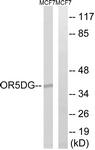 G910-1 - Olfactory receptor 5D16