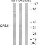 G922-1 - Olfactory receptor 6J1