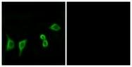 G932-1 - Olfactory receptor 8G2