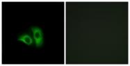 G941-1 - Olfactory receptor 10X1