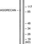 L0101-1 - Aggrecan