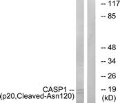 L0143-1 - Caspase-1